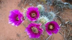cactus-336757_640