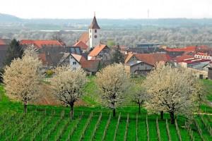 """Endingen ist das """"Kirschendorf"""" am Kaiserstuhl. Im Frühling blühen hier vor allem rund um den Ortsteil Königschaffhausen zahlreiche Kirschbäume.  © Kaiserstühler Verkehrsbüro Endingen"""