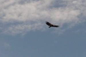 california-condor-4561