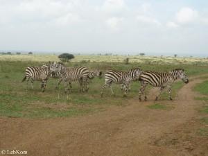 Kenya_Zebras