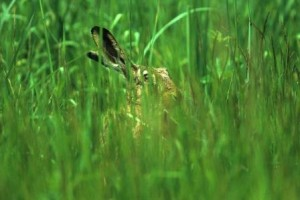 Feldhase in der Wiese (Lepus europaeus)