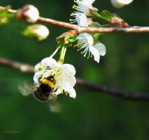 bumblebee-71013_640