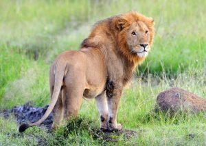 MasaiMara_Lion 4