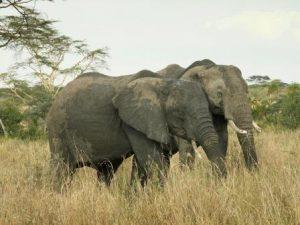 Elefanten sind intelligente Tiere und leben in komplexen Sozialverbänden ~ Foto: NABU/Barbara Maas