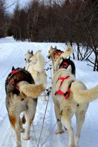 huskies-333625_640