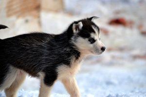 huskies-333629_640
